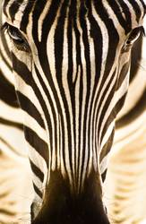 Portrait of a zebra.