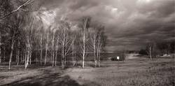 Birken im Wind