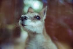 Kleines Känguru