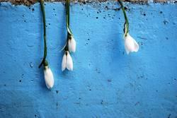 Four Anemone sylvestris