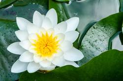 flower of water lily white hatched