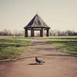 Taube läuft von rechts nach links