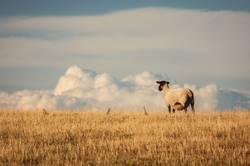 Schaf auf einer Weide mit Ausblick