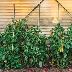 Tomatenpflanzen in einem Garten Gewächshaus