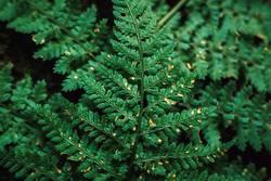 grüner Farn Textur Draufsicht