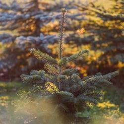 Der Weihnachtsbaum wächst im Herbst