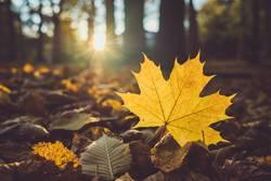 gelbes Ahornblatt auf dem Waldboden