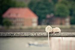 Rattengeflüster