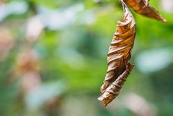 vertrocknetes Laubblatt im Herbst