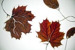 Vier laminierte Blätter