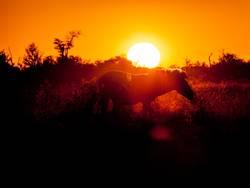 Zebra bei Sonnenuntergang