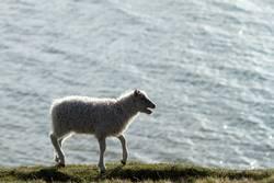 Lamm auf der Suche nach Mutter