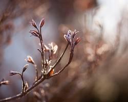 Frostblüten