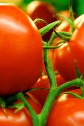 Wachsen Tomaten eigentlich am Baum?