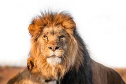 Zwei Löwen togenther in der Savanne