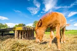 Small horse eating hay at a farm
