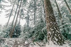 Snow storm in a forest with tall pine trees