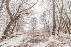 Snow in a forest with barenaked trees in snowy weather