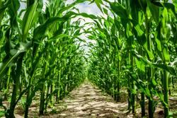 Corn plants on a field