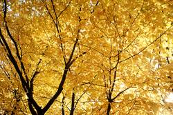 Herbst / gelbe Blätter