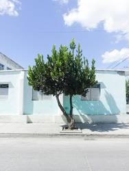kubanischer Baum