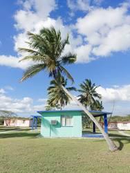 kubanische Palme