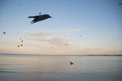 Rabenvögel im Flug