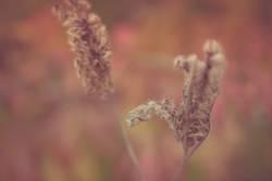 verblühte Phacelia / Bienenfreund