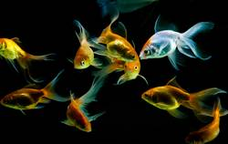 Gold fishes swimming
