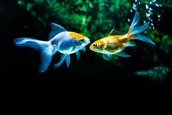 Zwei Goldfische vertraulich im Aquarium