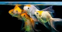 Goldfische gruppiert zusammen im Süßwasseraquarium