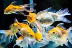 Gold fischt im Süßwasseraquariumbecken