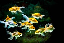 Group of yellow goldfishes swimming in fresh water aquarium tank