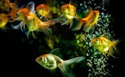 Goldfische, die im Aquarium mit Wasserblasen schwimmen