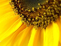 Sonnenblümeli Nr.2