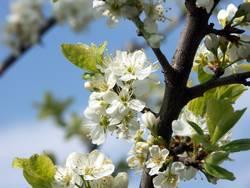 Kirschblüte Nr.1