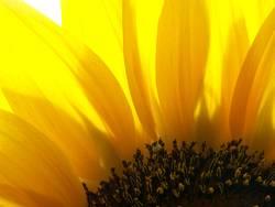 Sonnenblümeli Nr.3