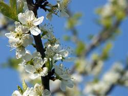 Kirschblüte Nr.2