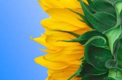 3 colors sunflower