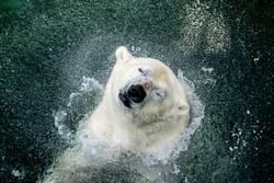 head shaking polar bear / Kopfschüttelder Eisbär