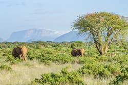 Two elephants in the savannah of Samburu Park in central Kenya