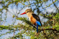 Grey-headed Kingfisher on an acacia branch