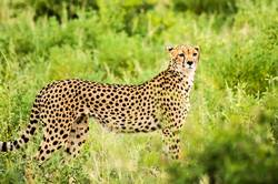 Cheetah walking in the savannah
