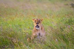 Lioness sitting in the savannah