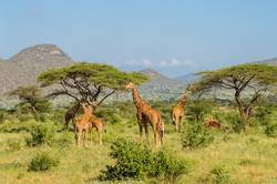 Flocks of giraffes in the savannah