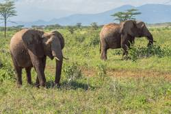 Two elephants in Samburu Park busy taking
