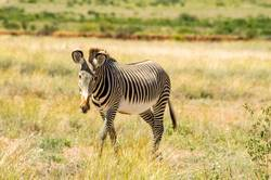 Isolated zebra walking in the savannah