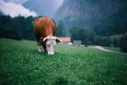 Kuh wieder
