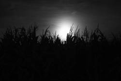 Mond hinter Maisfeld B/W