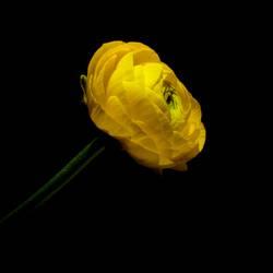 Ranunkel.Blüte